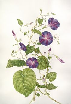 Ipomoea purpurea Botanical illustrations by Milly Acharya