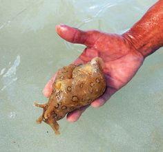 Sea Hare or Sea Slug