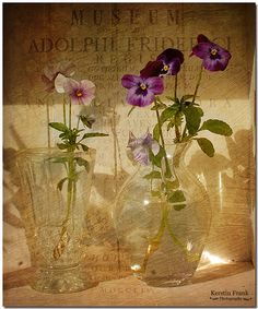 Still-life, Pansies in glass.