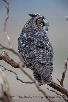 Long eared Owl (Asio otus, previously Strix otus) by Tim Boyer*
