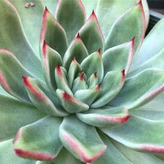 If this one didn't have a couple of tiny imperfections I would think it was fake! Growing Succulents, Echeveria, Things To Think About, Cactus, Im Not Perfect, Garden, Instagram Posts, Plants, Couple