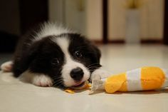 Games to keep a border collie busy.
