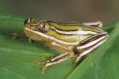 Heterixalus sp. - Madagascan Reed Frog