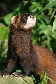 Nature and more - - European Polecat, North American Wolf, Mink Animal, Animals Beautiful, Cute Animals, Cute Ferrets, Animals Of The World, Cute Faces, Animal Photography