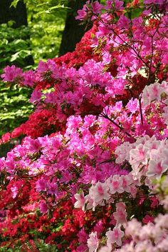 Beautiful azalea