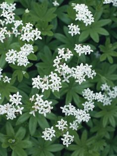 AMAZING DIY TEAPOT PLANTERS Sweet Woodruff This shade-friendly ground cover with fragrant white flowers is sweet, but not sweet for deer.Sweet Woodruff This shade-friendly ground cover with fragrant white flowers is sweet, but not sweet for deer. Diy Garden, Shade Garden, Garden Cottage, Dry Shade Plants, Sweet Woodruff, Deer Resistant Plants, Shade Flowers, Ground Cover Plants, Woodland Garden