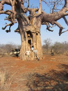 Here are some interesting facts about baobabs brought to you by Limpopo-Lipadi.