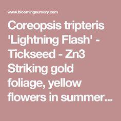 Coreopsis tripteris 'Lightning Flash' - Tickseed - Zn3 Striking gold foliage, yellow flowers in summer, 5' tall.