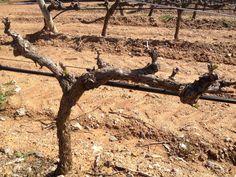 Los viñedos de la Finca Malaveïna ya han brotado.