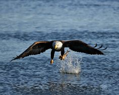 Bald Eagle. Photo: Jim Chagares/Audubon Photography Awards