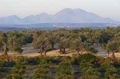 Field of #olive tree in #Rethymno, #Crete.© Carlos Rodrigues