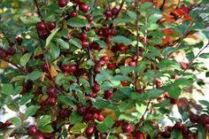 Irga (mispel)jest azjatycką rośliną o pokroju krzaczastym lub niskiego drzewa. Pokrywa się ona białymi, czasami różowymi kwiatami o niewielkich rozmiarach. Liście są w kolorze głębokiej zieleni o gładkich brzegach. Po przekwitnięciu pojawiają się malutkie, czerwone, rzadziej czarne owoce. Bardzo długo utrzymują się na roślinie i stanowią pożywienie ptaków późną jesienią i zimą.