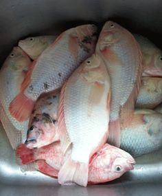 Aquaponics Fish Production and Stocking Densities Backyard Aquaponics, Aquaponics Fish, Hydroponic Gardening, Organic Gardening, Tilapia Farming, Fish Farming, Growing Plants, Growing Vegetables, Permaculture