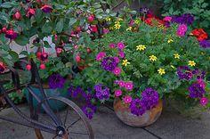 From Carol's garden in MI, displayed in Fine Gardening