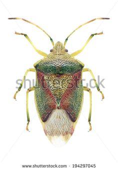 Acanthosomatidae Fotos, imagens e fotografias Stock | Shutterstock
