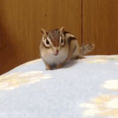 I hate chipmunks, but this is cute! Funny Animal Videos, Cute Funny Animals, Funny Cute, Cute Creatures, Beautiful Creatures, Animals Beautiful, Animals And Pets, Baby Animals, Animal Pictures