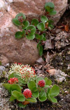The Flora of Svalbard - Salix polaris