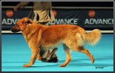 Estandard del Perro de Pastor Garafiano Rare Dogs, Rare Dog Breeds, Rough Collie, Sheltie, Border Collie, Hunting, Animals, English Shepherd, Cattle Dogs