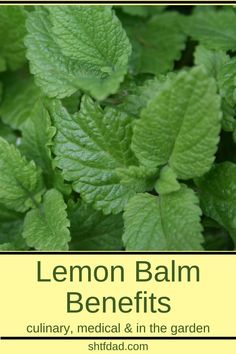 Learn about the many lemon balm benefits. Use it to make teas for better sleep and to keep stress and anxiety at bay. Make a salve to use as a natural remedy for cold sores. Use it in the kitchen to flavor salads and drinks, and you can even use it in the Natural Remedies For Congestion, Natural Remedies For Anxiety, Cold Home Remedies, Natural Home Remedies, Herbal Remedies, Health Remedies, Acne Remedies, Pineapple Health Benefits, Lemon Benefits