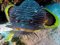 Sanopus splendidus, the splendid toadfish, photographed in Cozumel, Mexico. Learn more about this colorful beast at http://betterknowafish.com/2013/10/29/splendid-toadfish-sanopus-splendidus/ (Image Credit: Jim Lyle. Used with permission.)