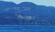 Transient Orcas @ Broom Hill - Sooke 5/1016