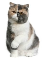 Exotic Short Hair Persian Cat! Would really love to own one! SO CUUUUTE!