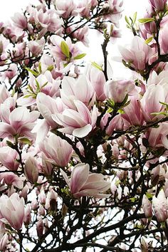 Magnolia, tree in bloom