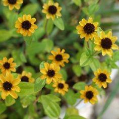 HUSARKNAPPAR i gruppen Ettåriga blomsterväxter / Marktäckande hos Impecta Fröhandel (8717)
