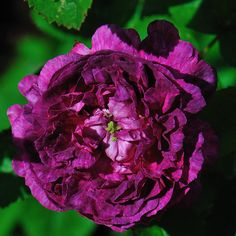 Belle de Crecy -  old Gallica rose