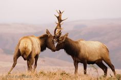 I've seen two of these bull Elk fight many times. It's quite a sight.
