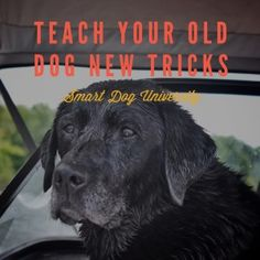 Old dogs love learning and training. If you have an older dog, one of the best things you can do for her is to keep her mind sharp. Older dogs are great learners! Think about it: they aren't as wild as puppies (remember this early video from Levi?), they usually already have the basics down, and understand the learning process. Working with an older dog can be — dare I say it — even more fun than working with a young pup.