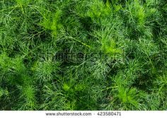 Young immature camomile plant flower without blossoms meadow Planting Flowers, Herbs, Stock Photos, Blossoms, Garden, Nature, Van, Flowers, Garten