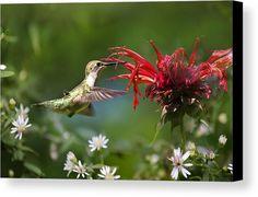 Hummingbird's Savory Summer Canvas Print by Christina Rollo.  All canvas prints…
