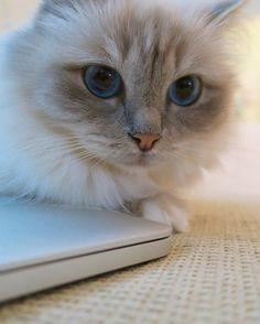 Don't work mommy! #vanilj #birma #birman #breeder #catsofinstagram #chokladochvanilj #pinkalicious #welovecats #we_love_cats #excellent_cats #bestcats_oftheworld #birmavanner