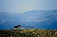 Aurland in Sogn og Fjordane, Norway. www.inatur.no/storviltjakt/50f3f383e4b0a76bd875d218/hjortejakt-aurland-i-sogn-og-fjordane | Inatur.no