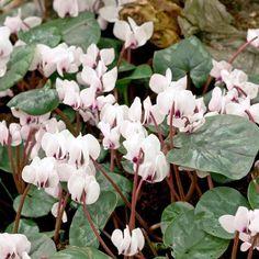 Cyclamen Bulbs - coum Album - Suttons Seeds and Plants