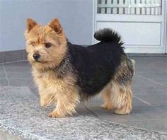 Norwich Terrier.  Isn't he adorable!! This is the type of dog I want to get.