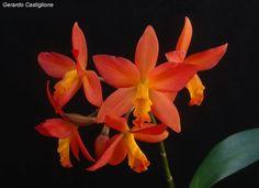 Epidendrum Sophronitis pseudepidendrum | Híbrido de (Sophronitis milleri x Epidendrum stamfordianum) aun sin ...