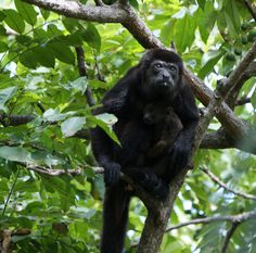Howler monkey and baby | Manuel Antonio, Costa Rica | UFOREA.org | The trip you want. The help they need.