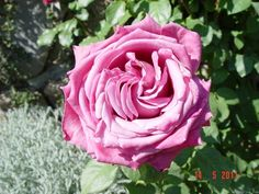 'Claude Brasseur ®' rose, click to enlarge