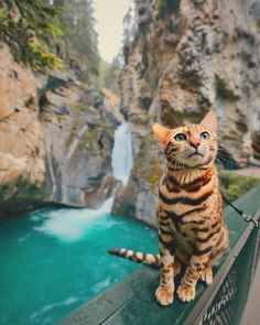 """Suki, a Bengal cat from Canada who unlike most lazy felines, isn't a stranger to exploring new & exciting lands. The Instagram star, who has nearly 180,000 followers, goes about the Canadian countryside with her human, exploring the mountains & streams. Unlike many cats, Suki isn't afraid of water."" Go to http://metro.co.uk/2017/09/10/meet-suki-the-bengal-cat-whos-living-out-her-best-forest-dreams-6916164/ for more info & photos."