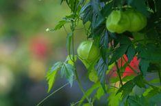 Il Cardiospermum halicacabum è una pianta erbacea rampicante con piccoli fiori…