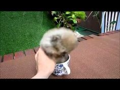 Is this tea cup puppy for real??   clickworthy