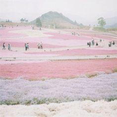 #Takinoue, Hokkaido and shibazakura flowers in #Japan. Pic by kuwaii
