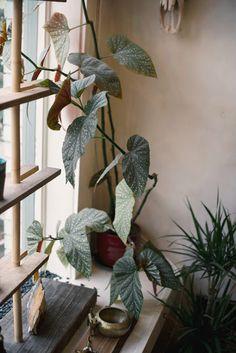 "Enkelin siipi ""Angel wing begonia"" Begonia corallina (Oko gallery // by The Weaver House) Green Plants, Potted Plants, Indoor Plants, Interior Plants, Green Life, My New Room, Indoor Garden, Houseplants, Decoration"