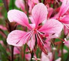 "WISH LIST:  Gourgeous Perennials "" Pink Gaura"" Fresh Seeds 