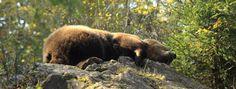 Orso bruno (Foto di E.Forlani). Il Parco dell'Adamello è costantemente interessato soprattutto da spostamenti stagionali di giovani maschi in dispersione (www.uomoeterritoriopronatura.it).