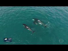 O GRITO DO BICHO 3: Grupo de baleias e um filhote 'passeiam ' por Arra... Vida Animal, Whale, Animals, Southeast Asia, Rabbit Ears, Koalas, Baleen Whales, Pup, Group