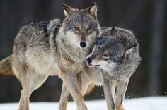 Wolven lijken sterk op honden maar zijn een stuk intelligenter, ze kunnen uitstekend zwemmen, zorgden voor het veranderen van de loop van de rivieren in Yellowstone en worden in sommige landen ernstig in hun voortbestaan bedreigd. Feitjes die je misschien nog niet kende over deze fascinerende dieren.