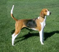 Farm Dog Breeds - The American Foxhound is an intense hunter often used in fox hunting. It also has talents for tracking and as a watchdog.